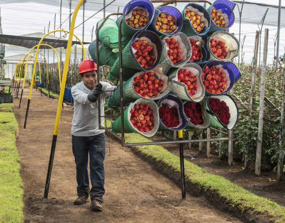 A worker pushing a frame filled with Fairtrade roses in a plantation